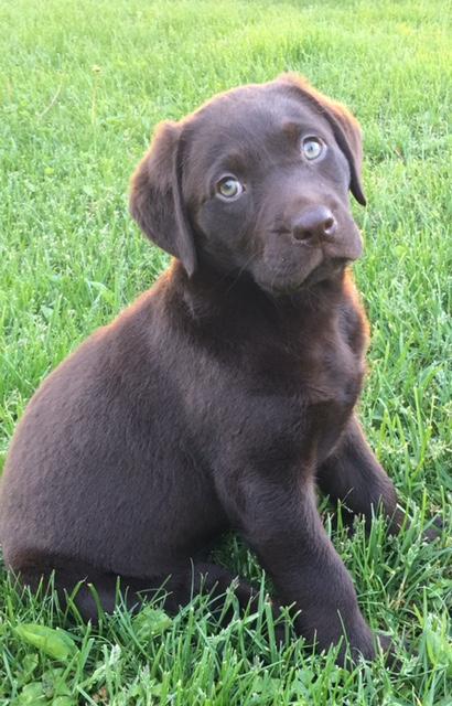 Best Chocolate Lab Chubby Adorable Dog - FullSizeRender-3-2  Gallery_902624  .jpg